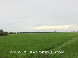 Sawah padi, Kedah